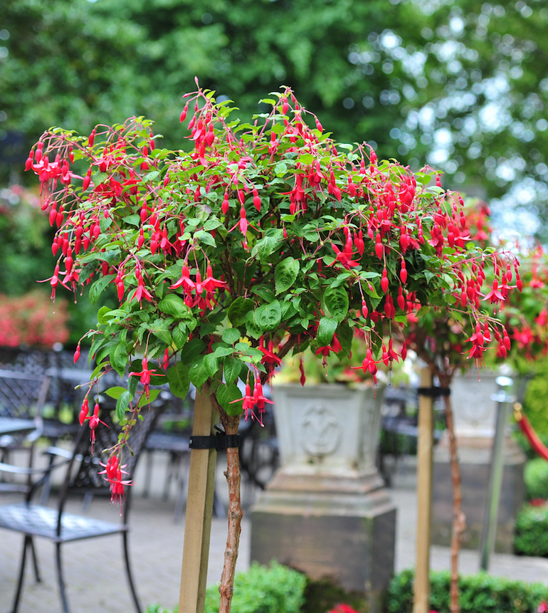 how to train standard fuchsias