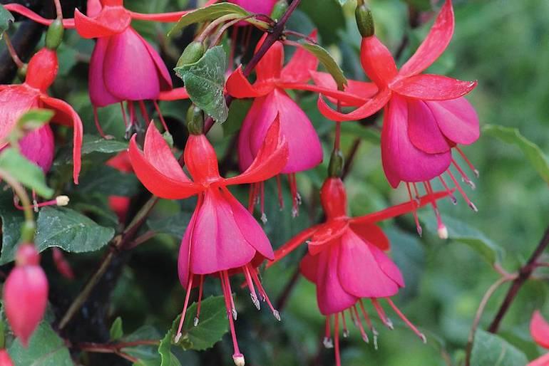 popular fuchsia varieties