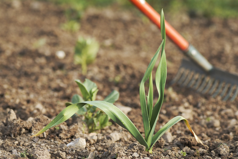caring for garlic