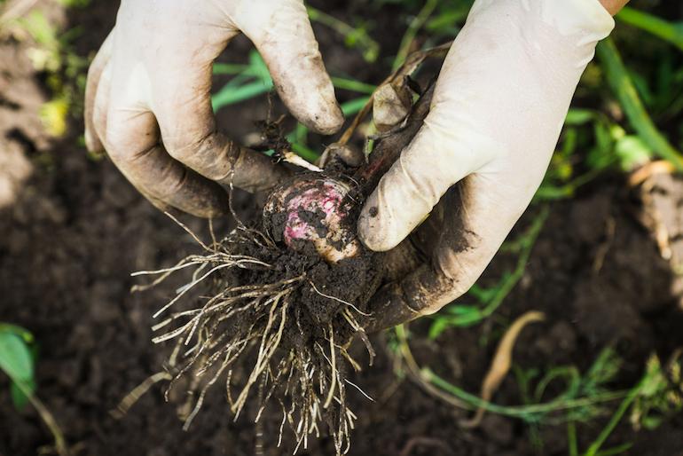 common problems garlic