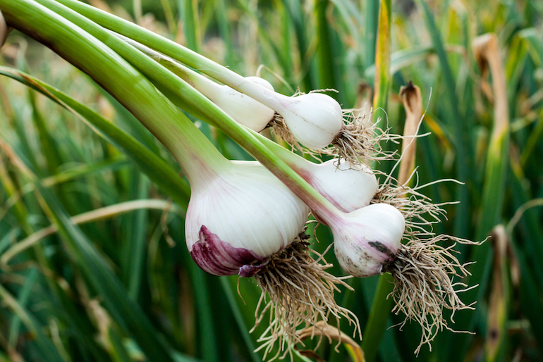 how to grow garlic lead