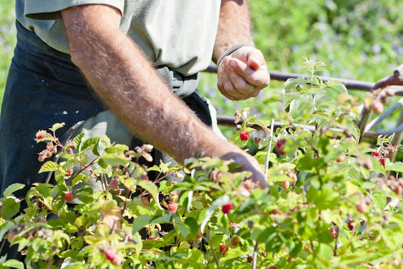 harvesting raspberries
