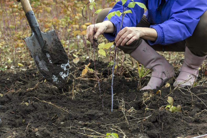 planting raspberries in garden