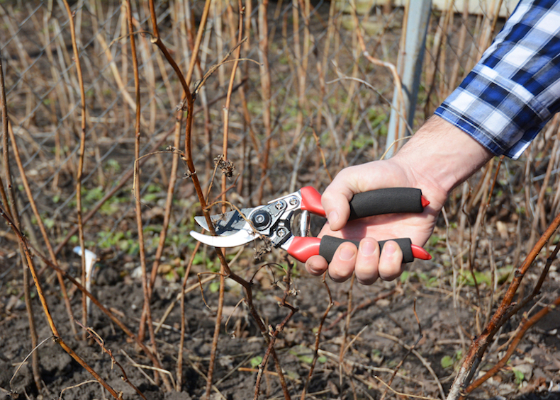 pruning raspberry canes