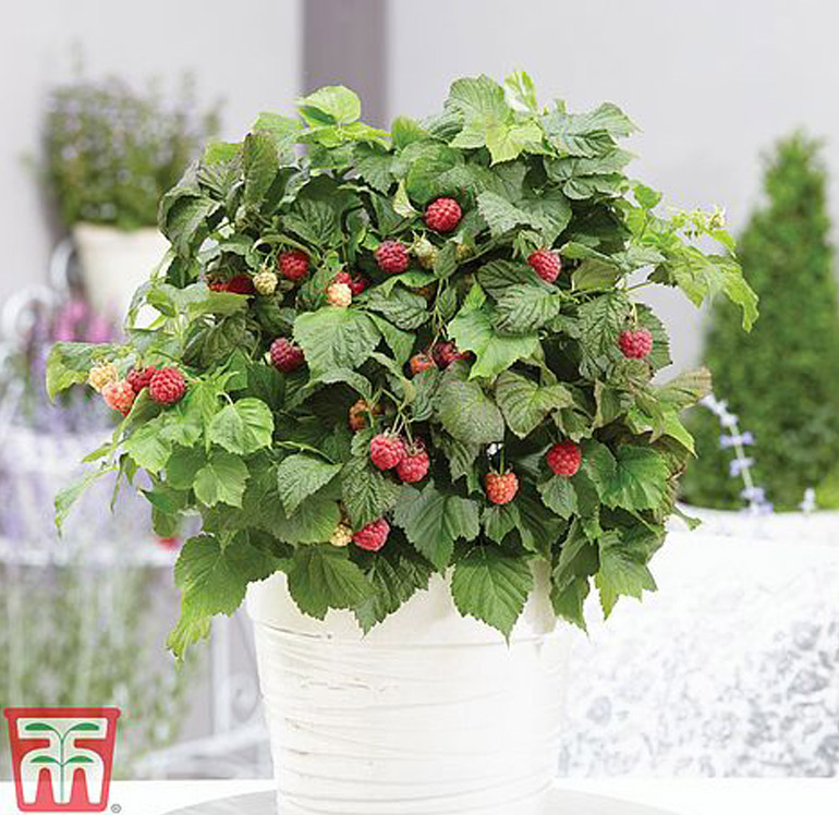 How to grow raspberries in containers