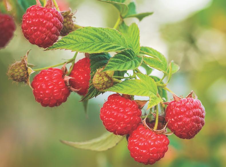 Raspberry 'Ruby Falls' from Thompson & Morgan