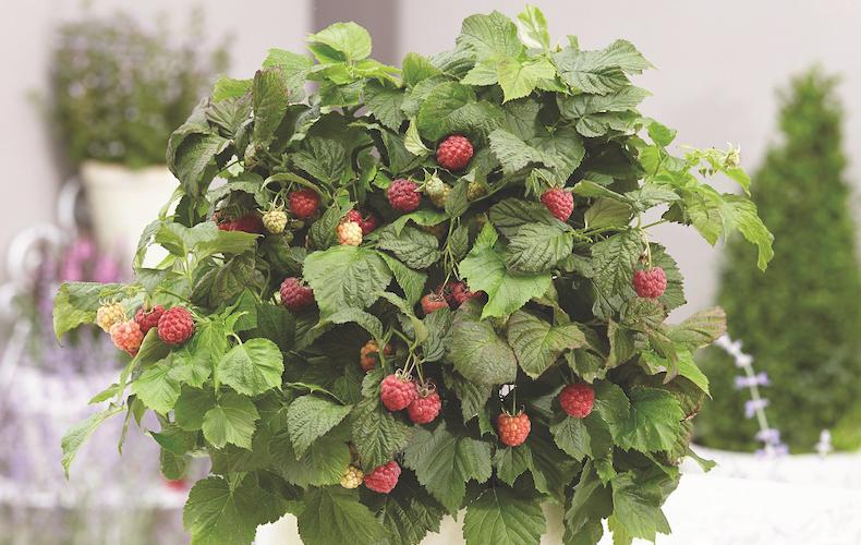 Raspberry 'Yummy' from Thompson & Morgan