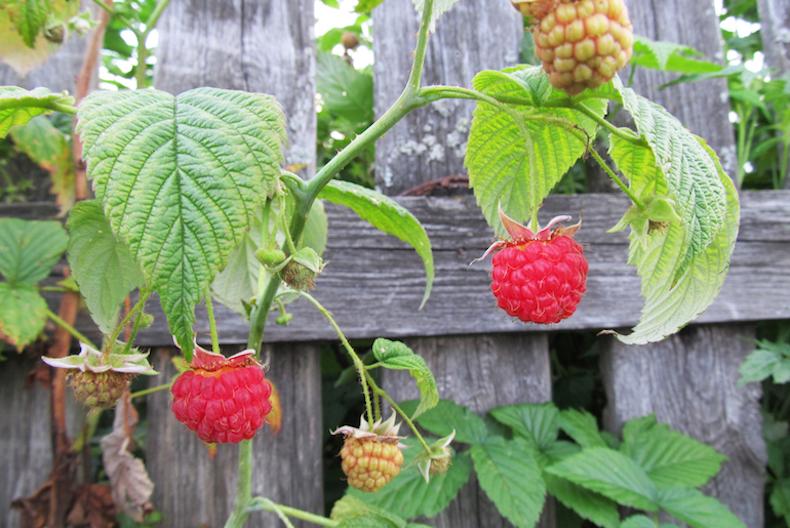 summer fruit raspberries on fencing