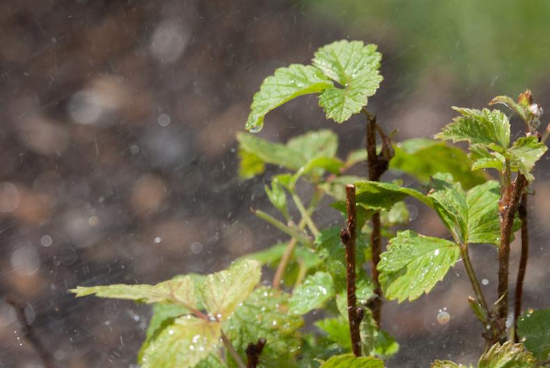 watering raspberry plants