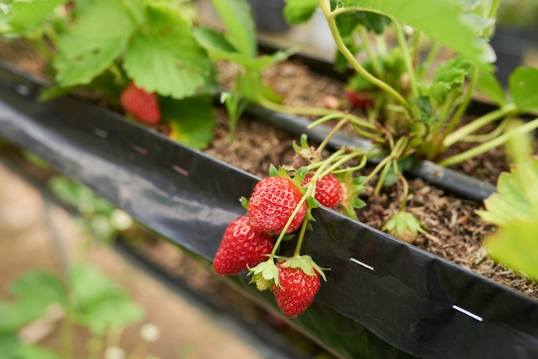 Growing strawberries indoors
