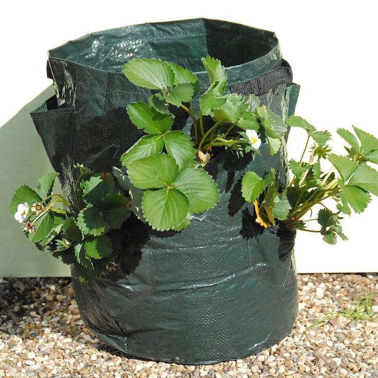 growing strawberries in a patio planter