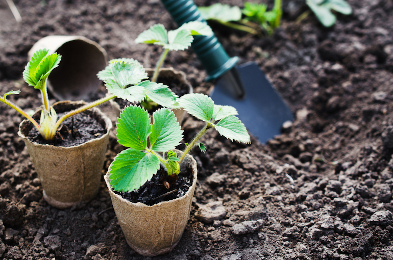 Strawberry plants with space to grow in garden