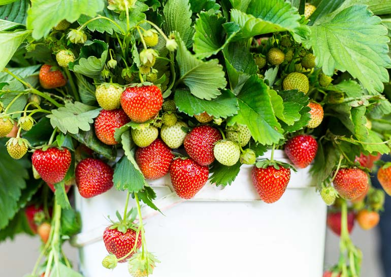 growing strawberries in a patio container