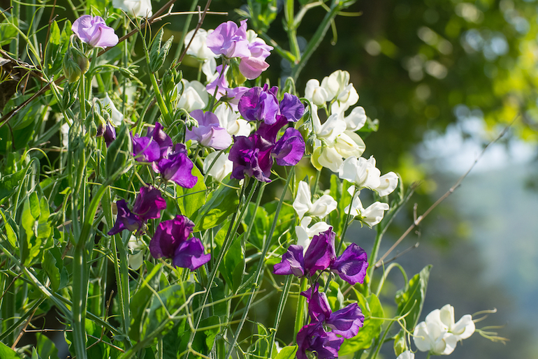 Purple and white peas in a cottage garden