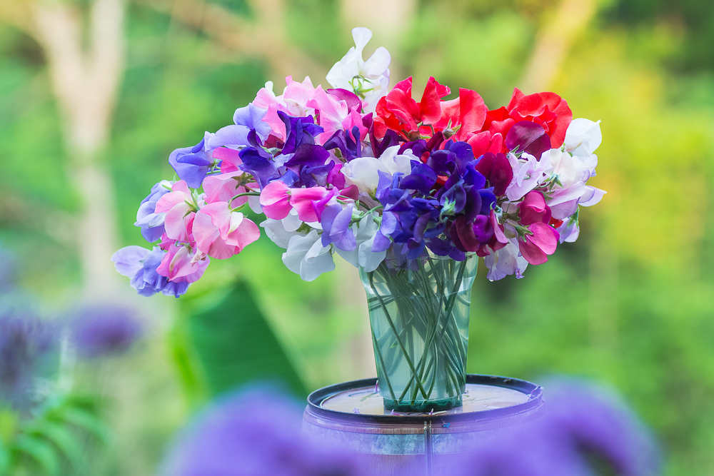 tying sweet pea stems for straight stems