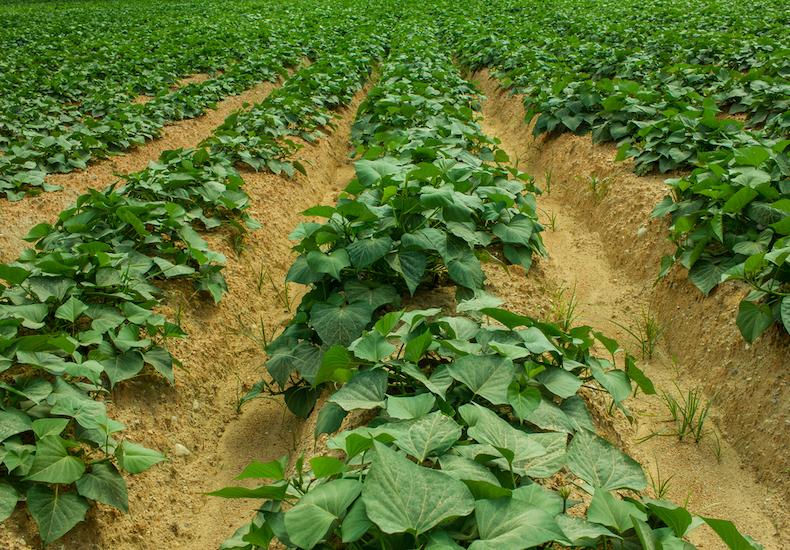 Sweet potatoes growing in a field