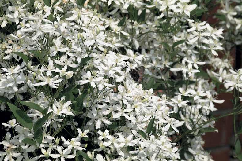Clematis 'Armandii' from Thompson & Morgan
