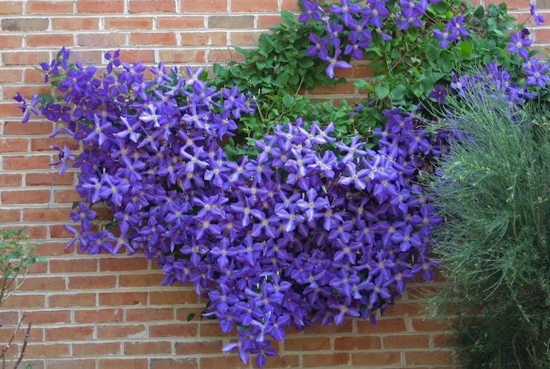 clematis growing on wall