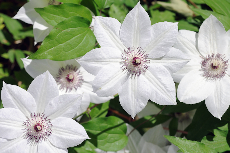 Clematis 'Snow Queen' from Thompson & Morgan