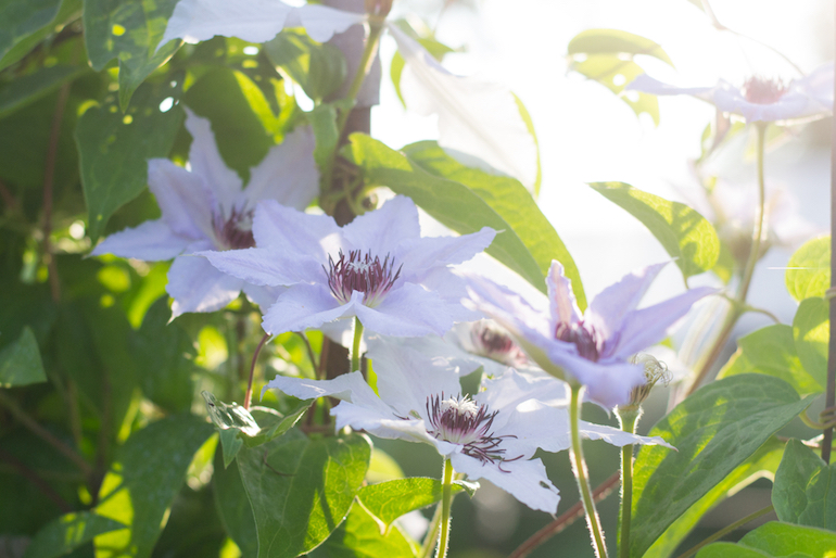 Large flowering clematis