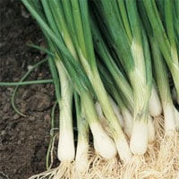 Spring or Bunching Onions (Scallions)