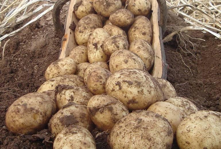 blight resistant potatoes