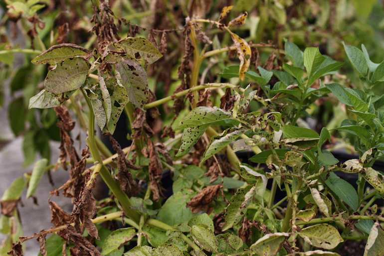 how does late blight spread