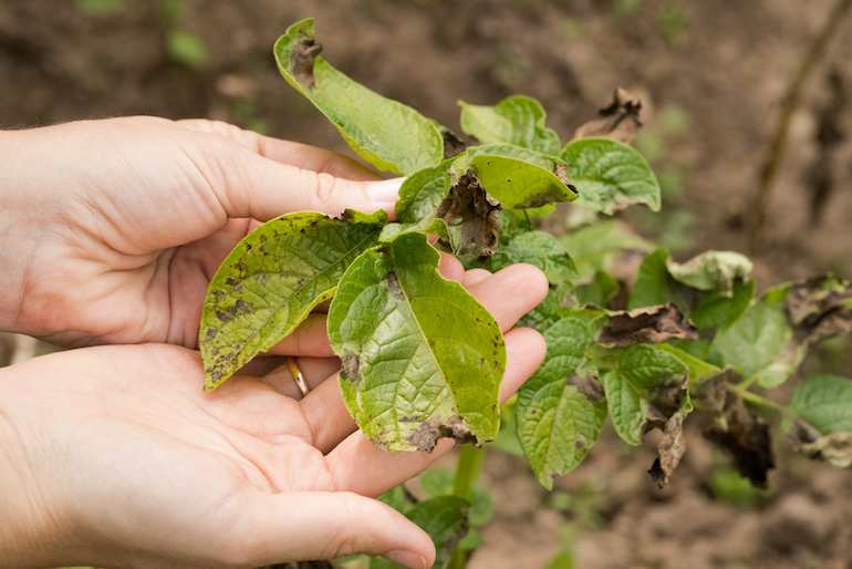 what does potato blight look like
