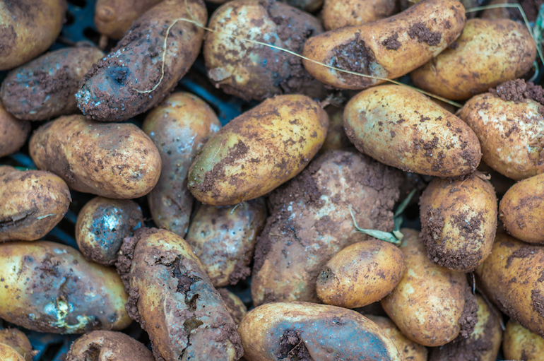 what is potato blight