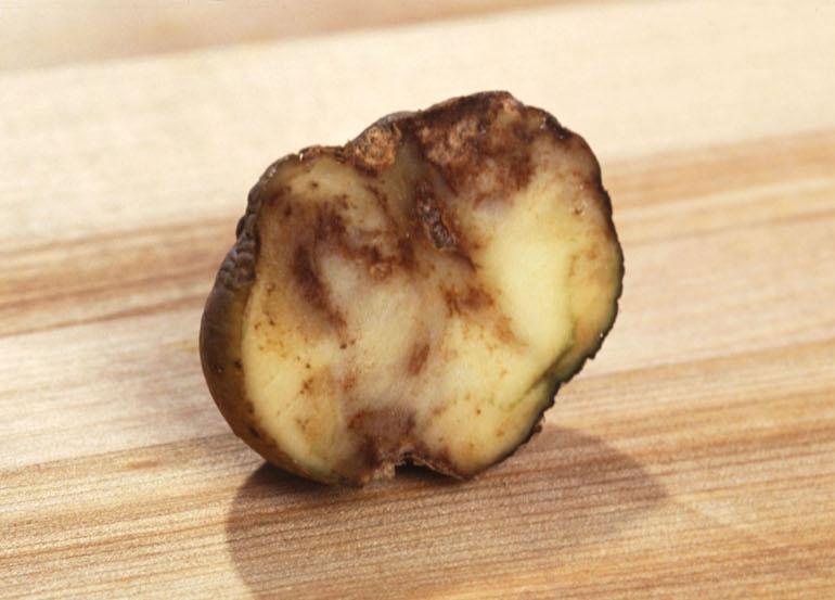 when does potato blight strike