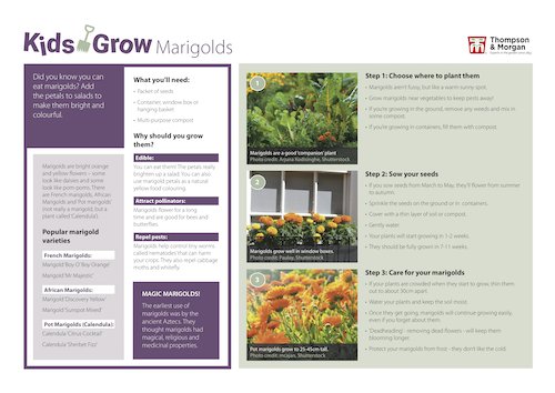 growing marigolds with kids pdf