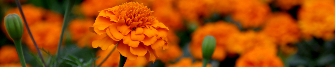 kids grow marigolds