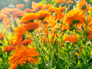 fully grown marigolds