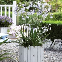 agapanthus patio plants