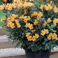 alstroemeria patio plant