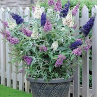 Buddleja patio plant