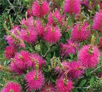 Callistemon 'Hot Pink' patio plant