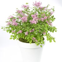 Lilac 'Flowerfest Pink' patio plant
