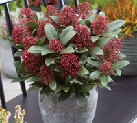 skimmia plant for the patio