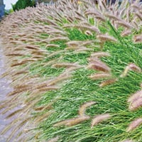 Pennisetum Ornamental Grass