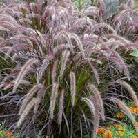 Pennisetum Rubrum Ornamental Grass