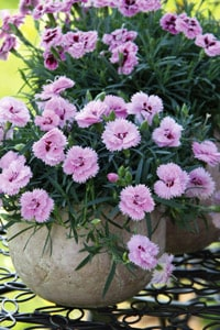 Dianthus In Pot