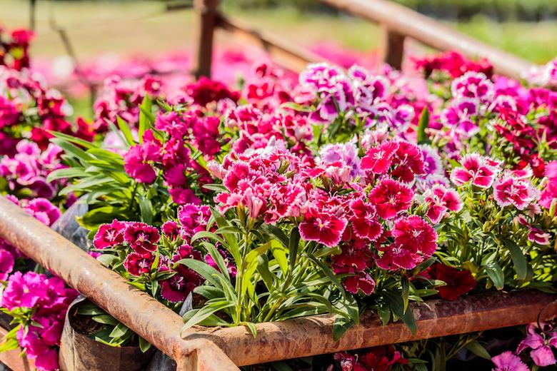 stunning pink dianthus