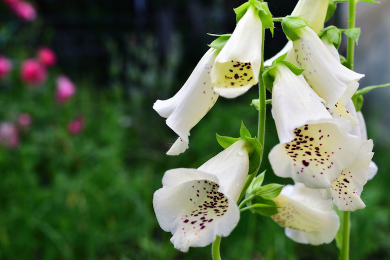 Foxglove plants in shade