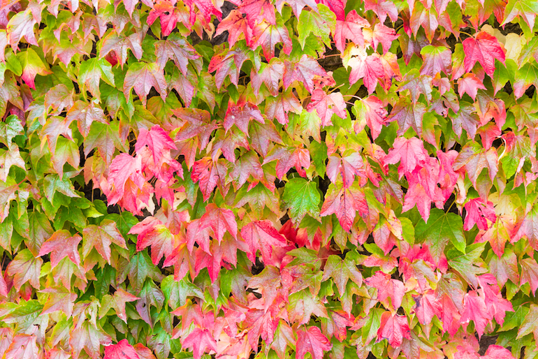 virginia creeper climbing plant in shade