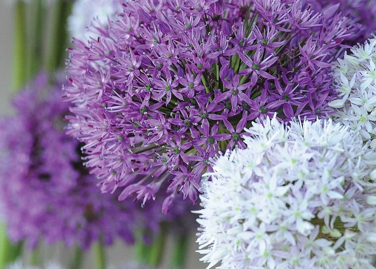 Best bulbs, corms and tubers for dry and sunny borders