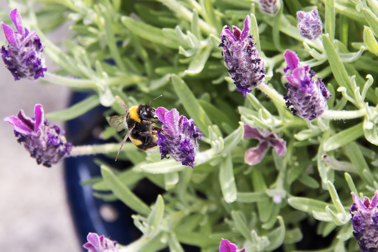 Lavender shrubs for dry and sunny borders