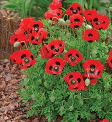 Tips for growing Poppies