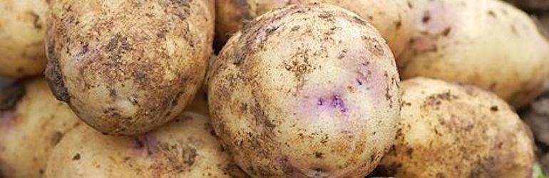 Potato 'Kestrel' from Thompson & Morgan