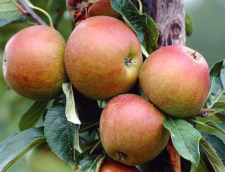 Apple 'Cox's Orange Pippin' from T&M